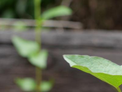 C'est quand ils émergent de terre au printemps que les liserons sont le plus vulnérables. Crédit photo: Mark Dixon/Flickr.