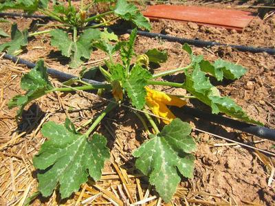 Plant de courgette arrosé par micro-irrigation