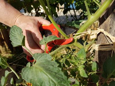 Les tomates ont besoin de feuilles saines pour mûrir.