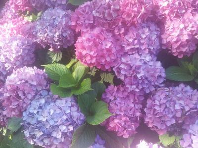 Les hortensias que l'on trouve partout en Bretagne sont tous originaires d'Extrême-Orient.