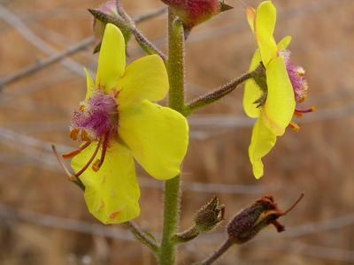 Molène blattaire ( <i>Verbascum blattaria</i>). Photo: Matt Lavin sous licence CC.