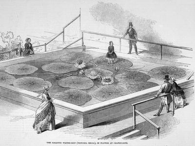 Démonstration sur les feuilles d'un nénuphar géant à Chatsworth (GB) en 1849.