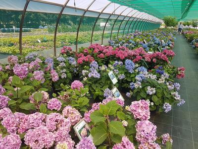 Jusqu'à l'âge de deux ans, les hortensias sont vendus en pots. Ils sont ensuite installés en pleine terre.