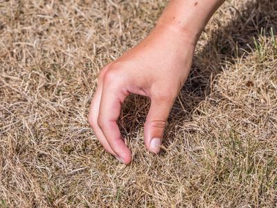 Même si elle paraît brûlée, la pelouse repartira au retour de la pluie.