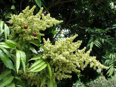 Les fruits de l'arbre à savon (billes marrons en haut à gauche) sont très riches en saponine.