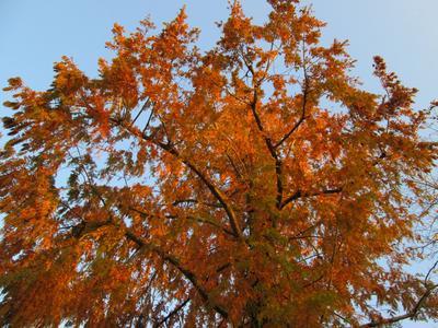 Métaséquoia avec son feuillage d'automne.