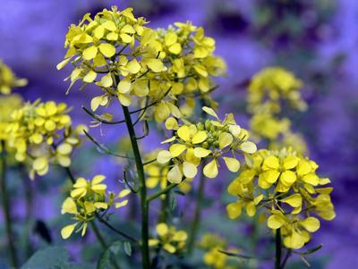Moutarde blanche en fleur.