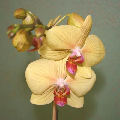 Les <i>Phalænopsis</i> ont besoin d'un arrosage régulier.