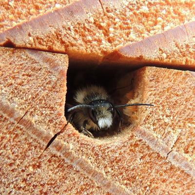 Pensez également à offrir un logis aux abeilles sauvages. Ici une osmie rousse.