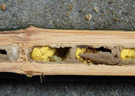 Nid d'osmie rousse dans une tige de bambou. On distingue nettement les boules de pollen jaunes qui serviront de nourriture aux larves une fois écloses. Crédit photo: tpjunier/Flickr.