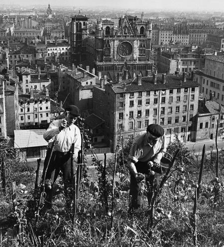 Culture de tomates à Lyon, dans le quartier Saint-Jean en 1949.