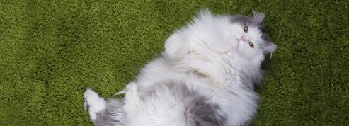 Les animaux de compagnie concernés par l'obésité