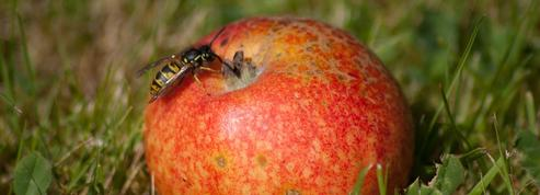 Pommes : comment éviter les morsures de guêpes ?
