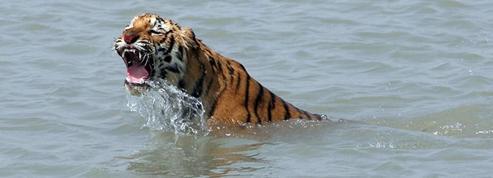 Le tigre du Bengale risque l'extinction dans son berceau historique