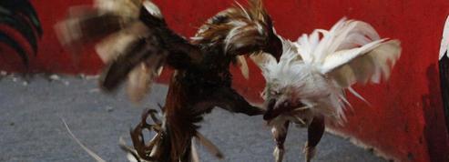 Combats de coqs : il n'y aura plus de nouveaux gallodromes en France