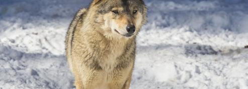 Loups: la France menacée d'une plainte