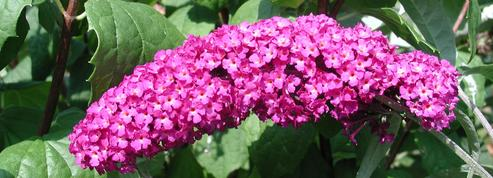 Arbre aux papillons, une abondante floraison d'été