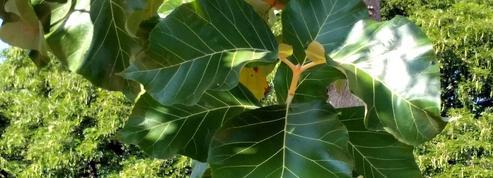 Comment acclimater des plants de teck ramenés du Togo?