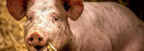 Pourquoi les éleveurs porcins seront perdants en cas de hausse des prix