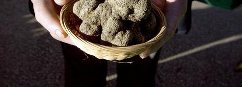 Les prix de la truffe explosent en France