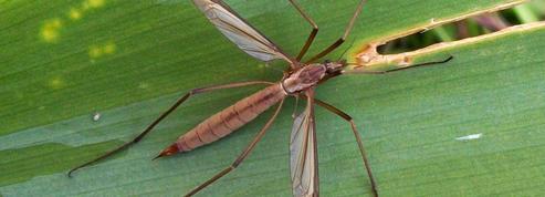Gazon: comment éliminer les larves de «cousins» ?