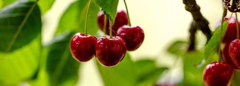 L'interdiction d'un insecticide menace les cultures de cerises