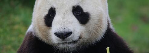 L'arrivée d'un bébé panda au zoo de Beauval se précise