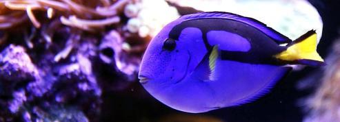 Du cyanure pour capturer les poissons d'aquarium