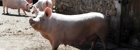 La filière porc progresse en France grâce au marché chinois