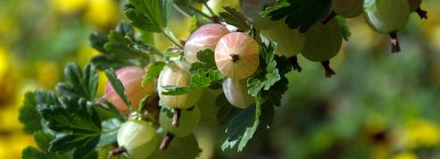 Groseillier: faut-il couper les branches sèches en été ?