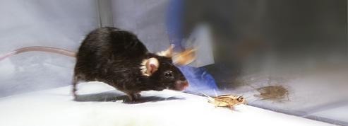 Un laser transforme des souris en tueuses redoutables
