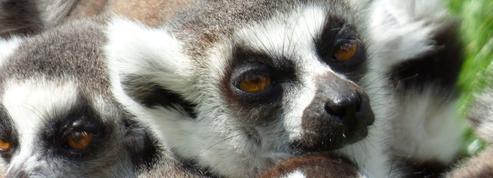 60% des primates sont en voie d'extinction