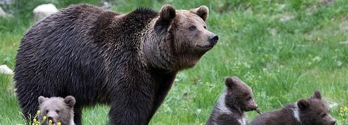 Dans les Pyrénées, la population d'ours augmente, la polémique persiste