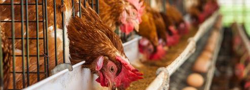 Les éleveurs vont investir pour produire moins d'œufs en batterie