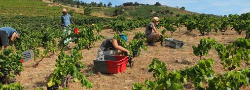 Vers la récolte de vin la plus petite depuis 1945 en France
