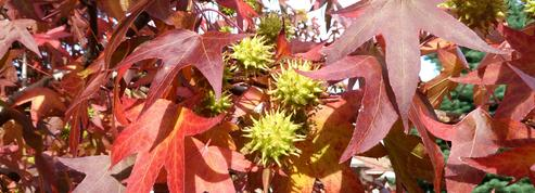 Liquidambar, pour un automne flamboyant