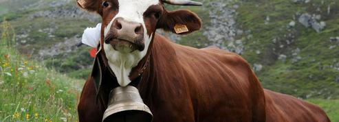 Les vaches du Biot pourront garder leurs cloches