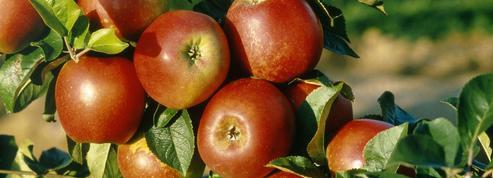 Quinze ans pour créer une nouvelle pomme
