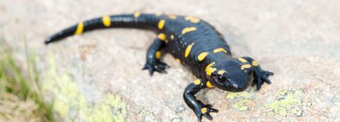 Il y a 35 millions d'années, les salamandres mangeaient des grenouilles