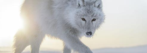 Le loup et autres histoires au festival du film animalier de Ménigoute