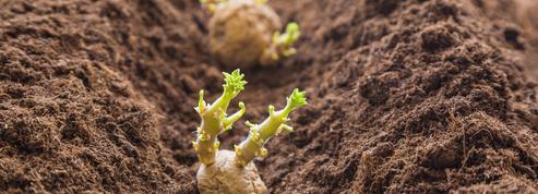 Pommes de terre primeurs: faites confiance à Saint-Joseph