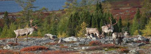 La toundra arctique se couvre d'arbrisseaux