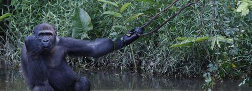 À la rescousse des grands singes