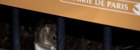 À Paris, sous le pont Neuf, les rats ont trouvé «une nouvelle maison»