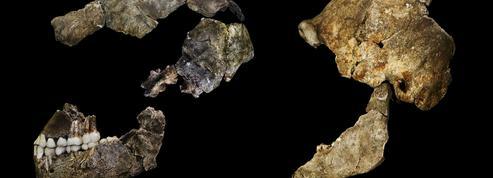 Un vieux cousin de l'espèce humaine avait un cerveau de la taille d'une orange