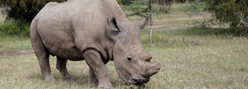 Les scientifiques vont tenter de «ressusciter» une espèce de rhinocéros condamnée