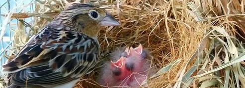 Les oisillons quittent le nid avec l'estomac bien rempli