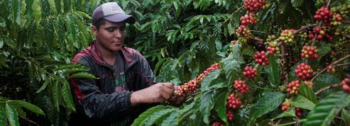 Café: les ventes explosent mais les producteurs sont asphyxiés