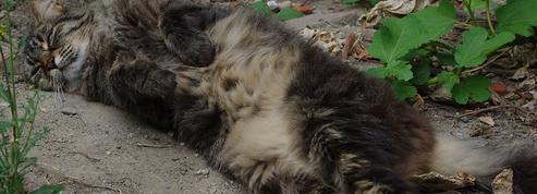Les chats ont-ils profité des hommes pour grossir ?