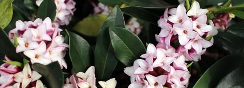 Daphné odorant, l'envoûtant parfum de l'hiver